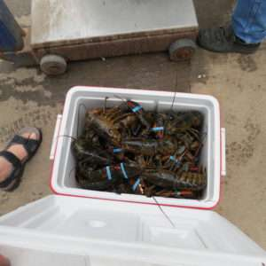 Lobsters packed for transportation.