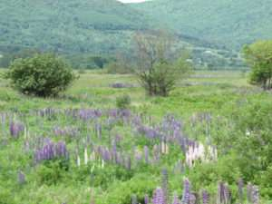 Lupines in Margaree