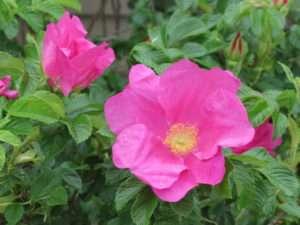 Wild Cape Breton Roses