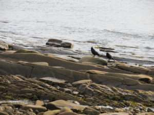 Crows at Whale Cove