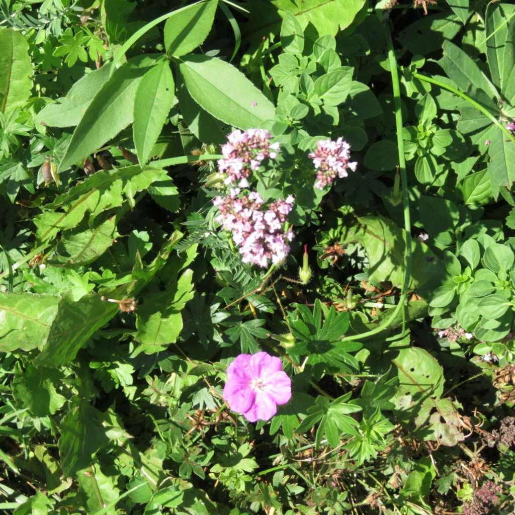 More pink wildflowers