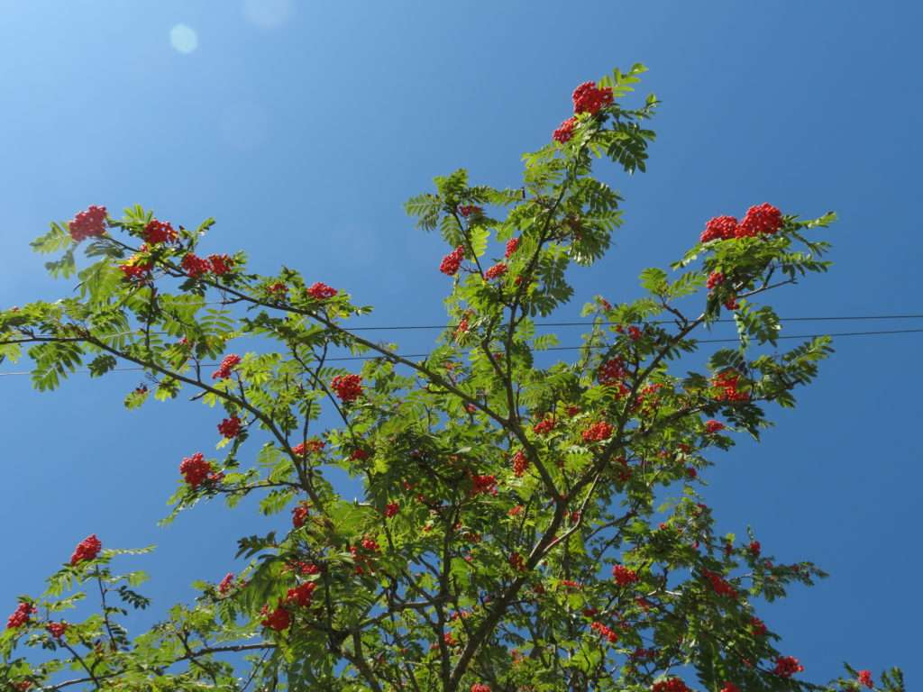 A dogwood tree with berries